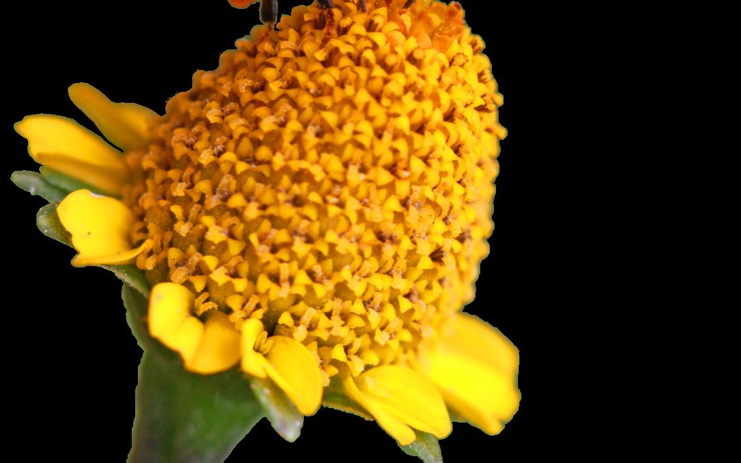 Lebah Tanpa Sengat